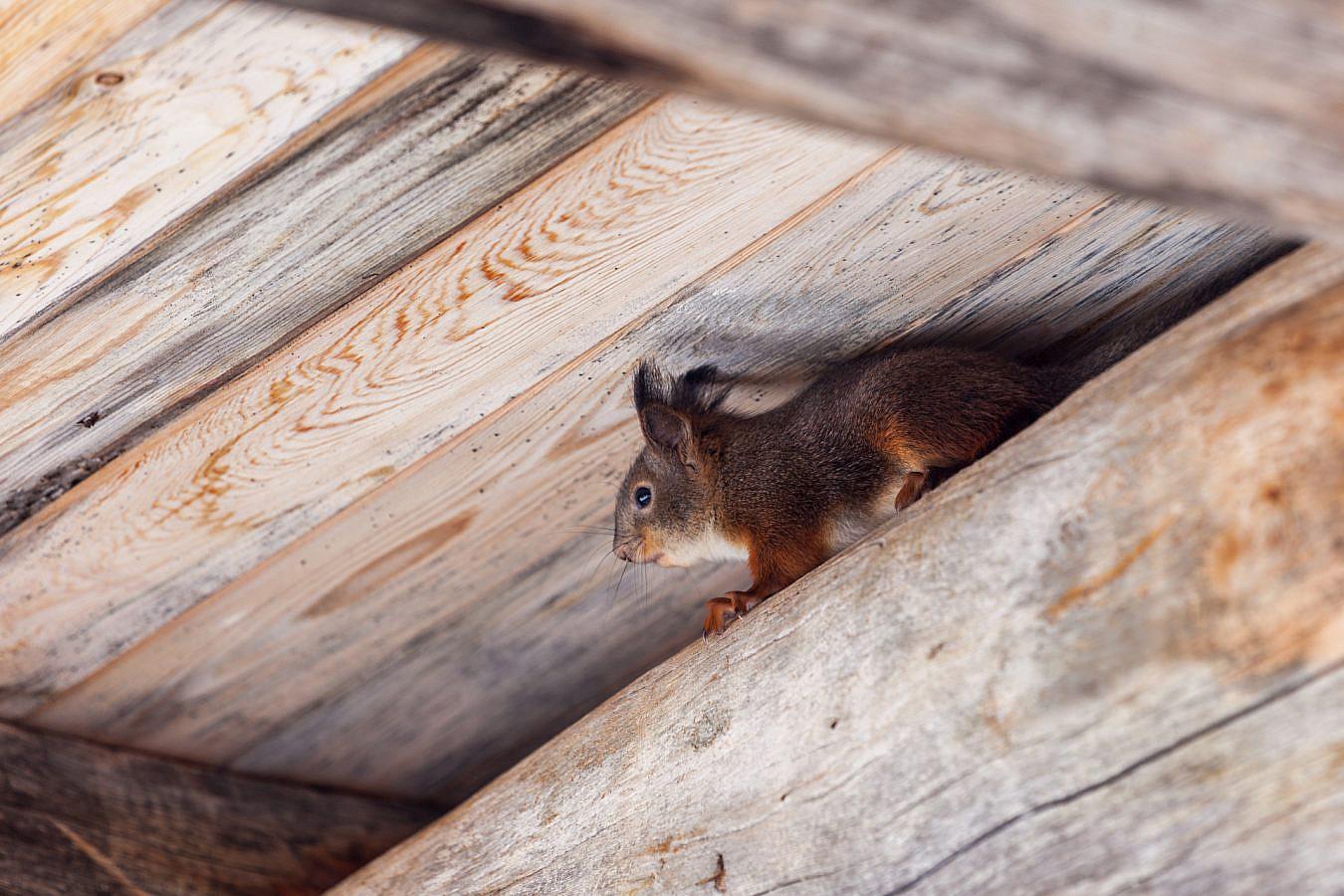 Eekhoorn in Fins Lapland